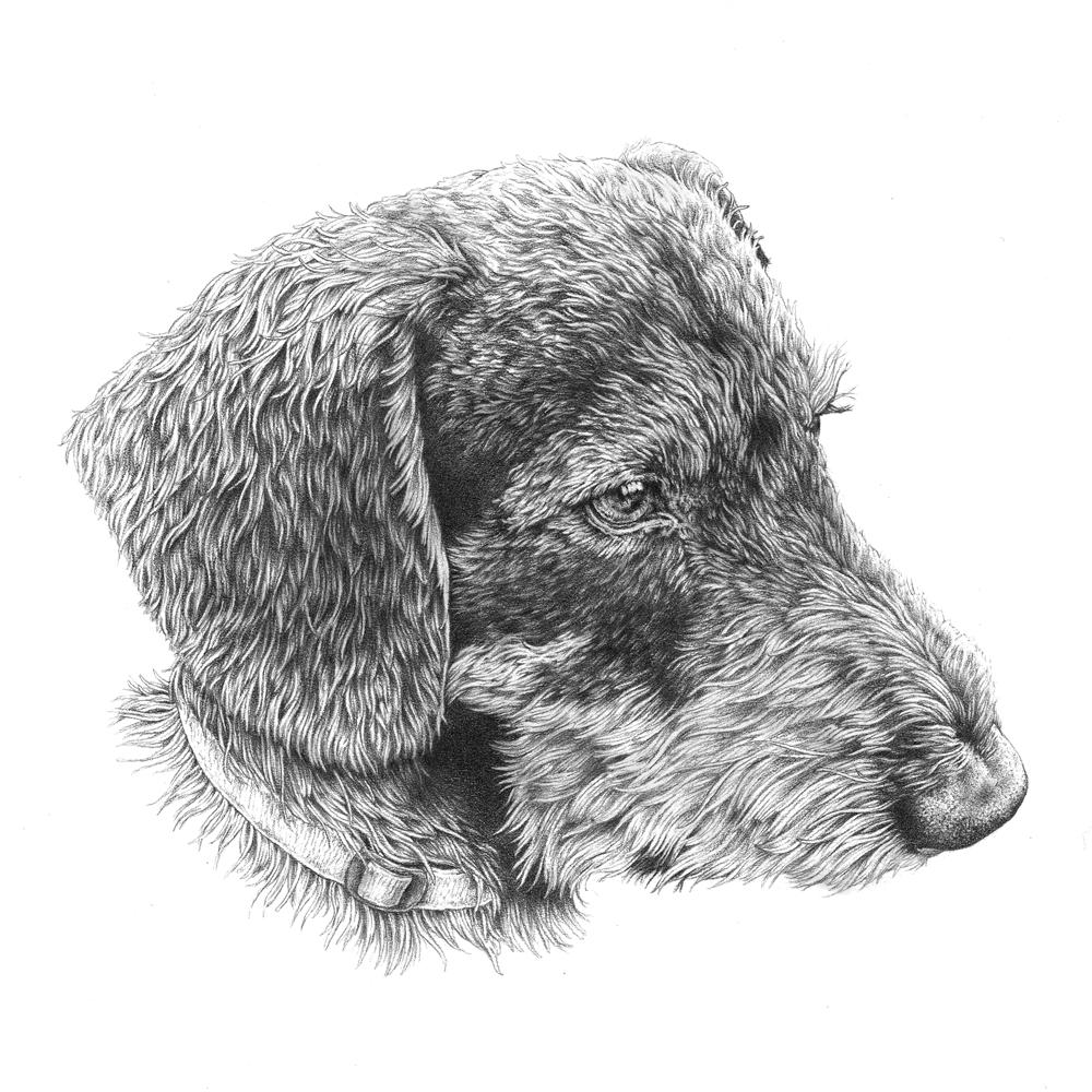 illustration_dachshund_dog_pencil_portrait_ilariazena_06